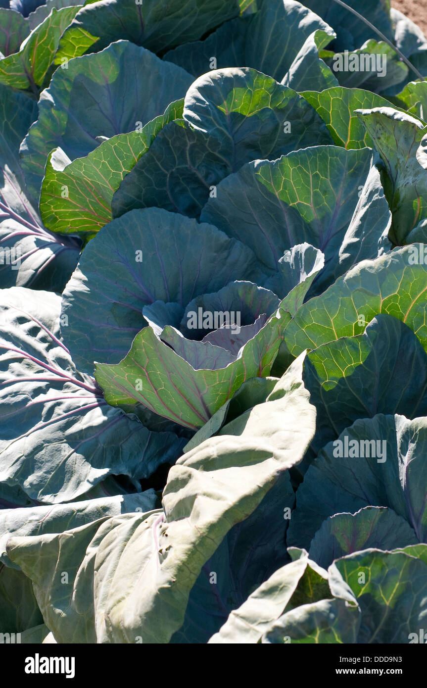 Cabbage 'Red Jewel' - Stock Image