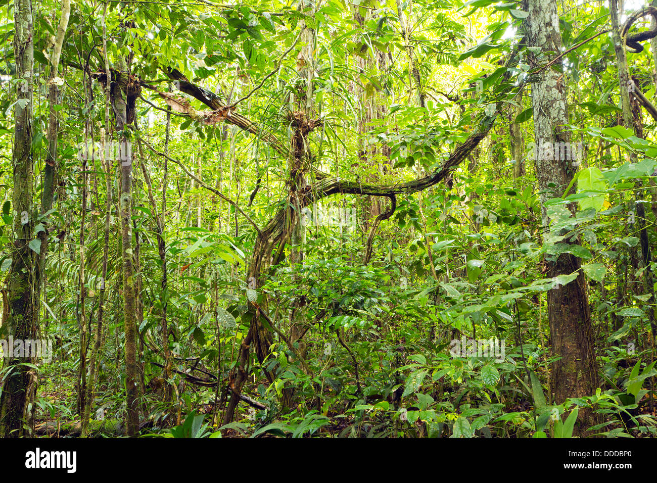 Tangle of lianas in the rainforest understory, Ecuador - Stock Image