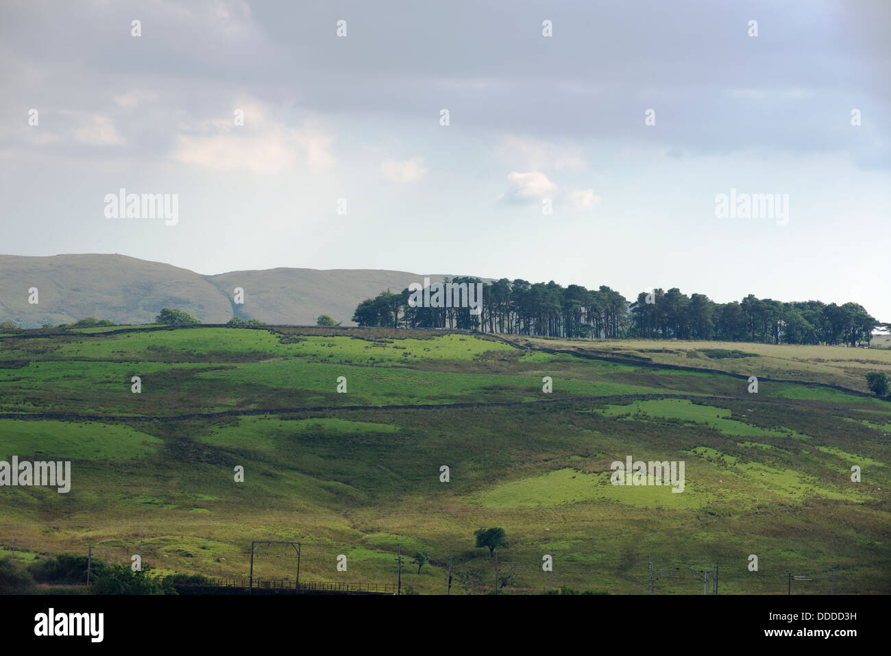 Stand of Caledonian pine in hill farming country, Cumbria, England. - Stock Image