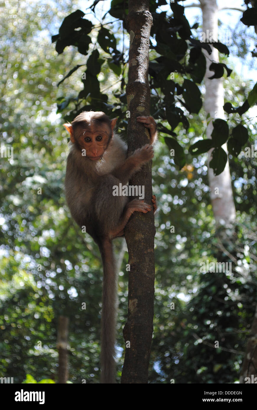 Monkey in Periyar National Park, Kerala, India - Stock Image