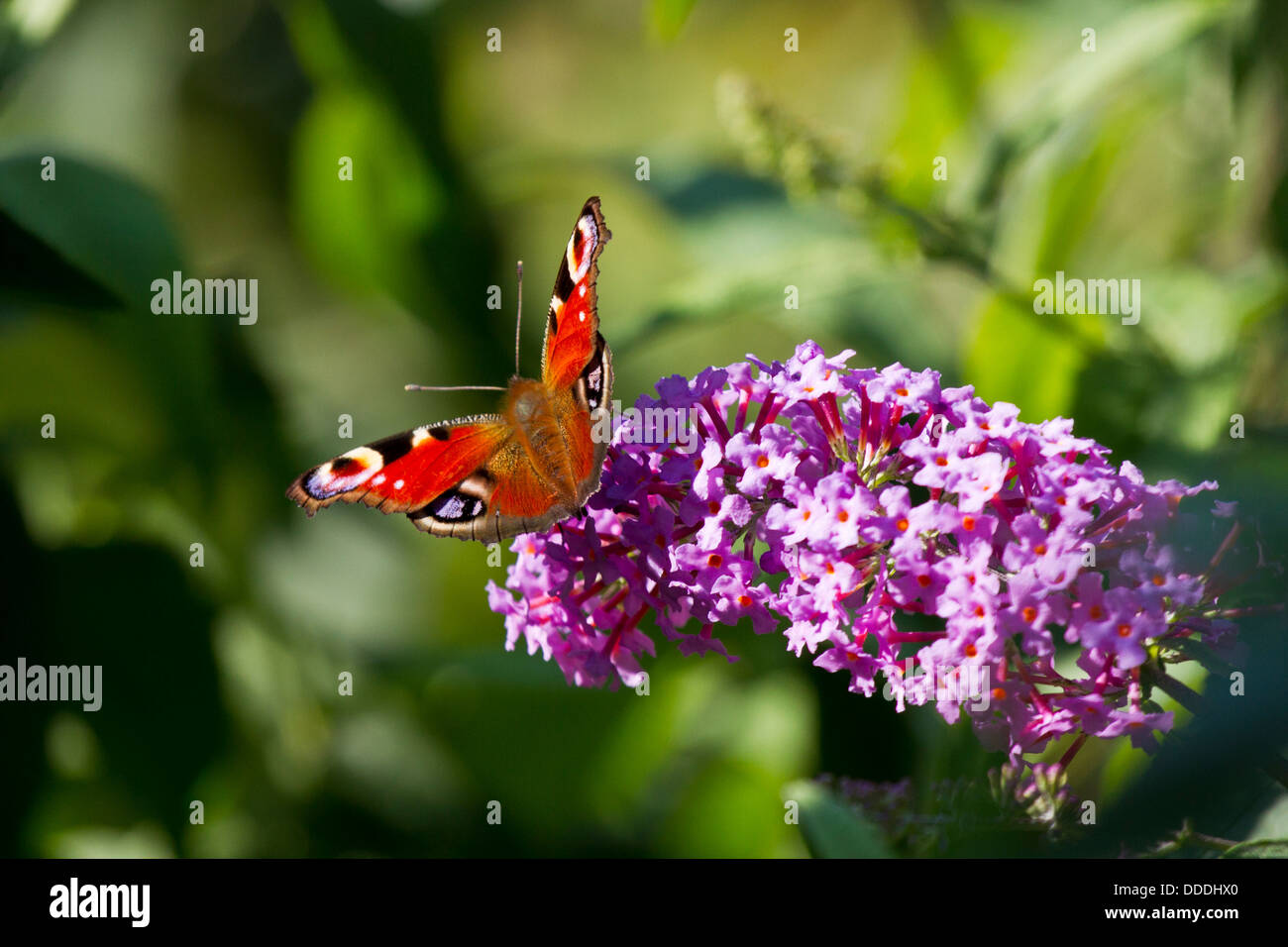 Peacock Butterfly - Stock Image