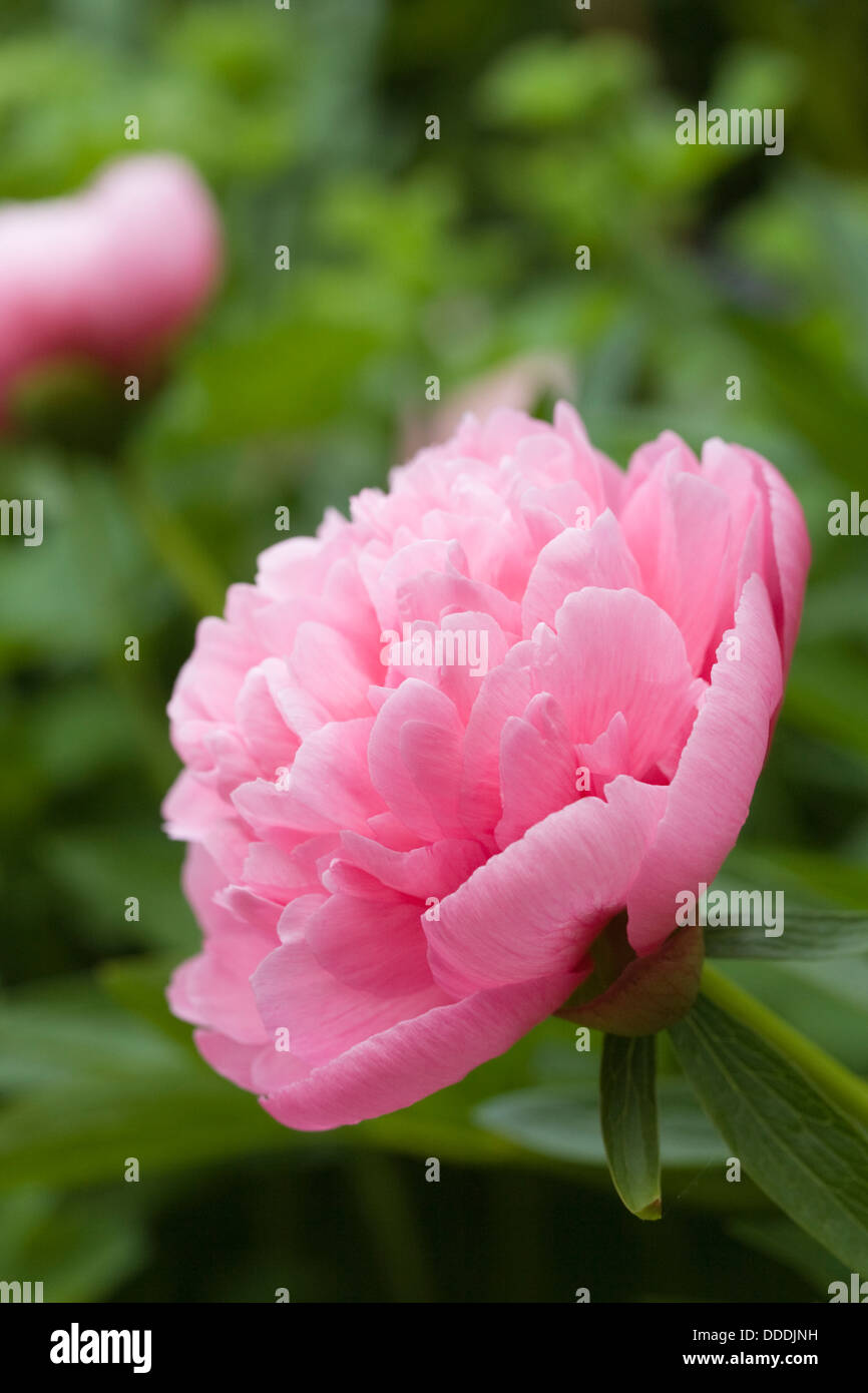 Paeonia flower in an English garden. Peony flower. - Stock Image