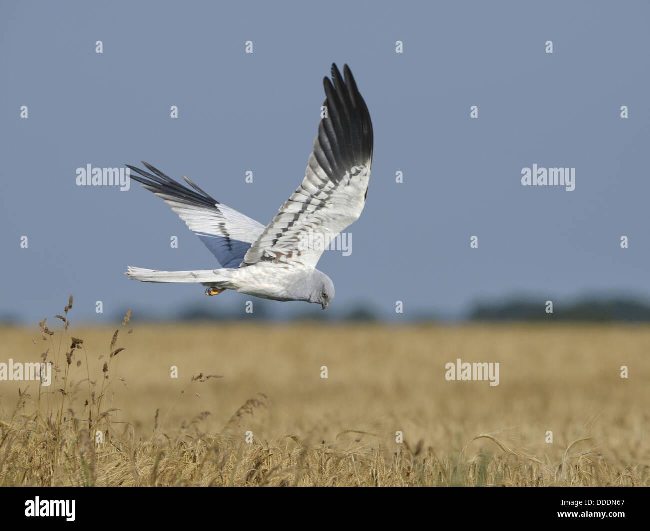 Montagu's Harrier - Circus montagui - Male in flight Stock Photo