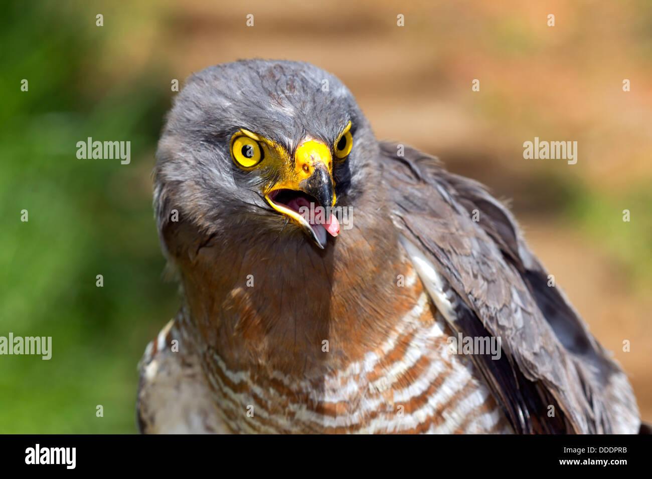 Roadside Hawk (Buteo magnirostris) in the Ecuadorian Amazon - Stock Image