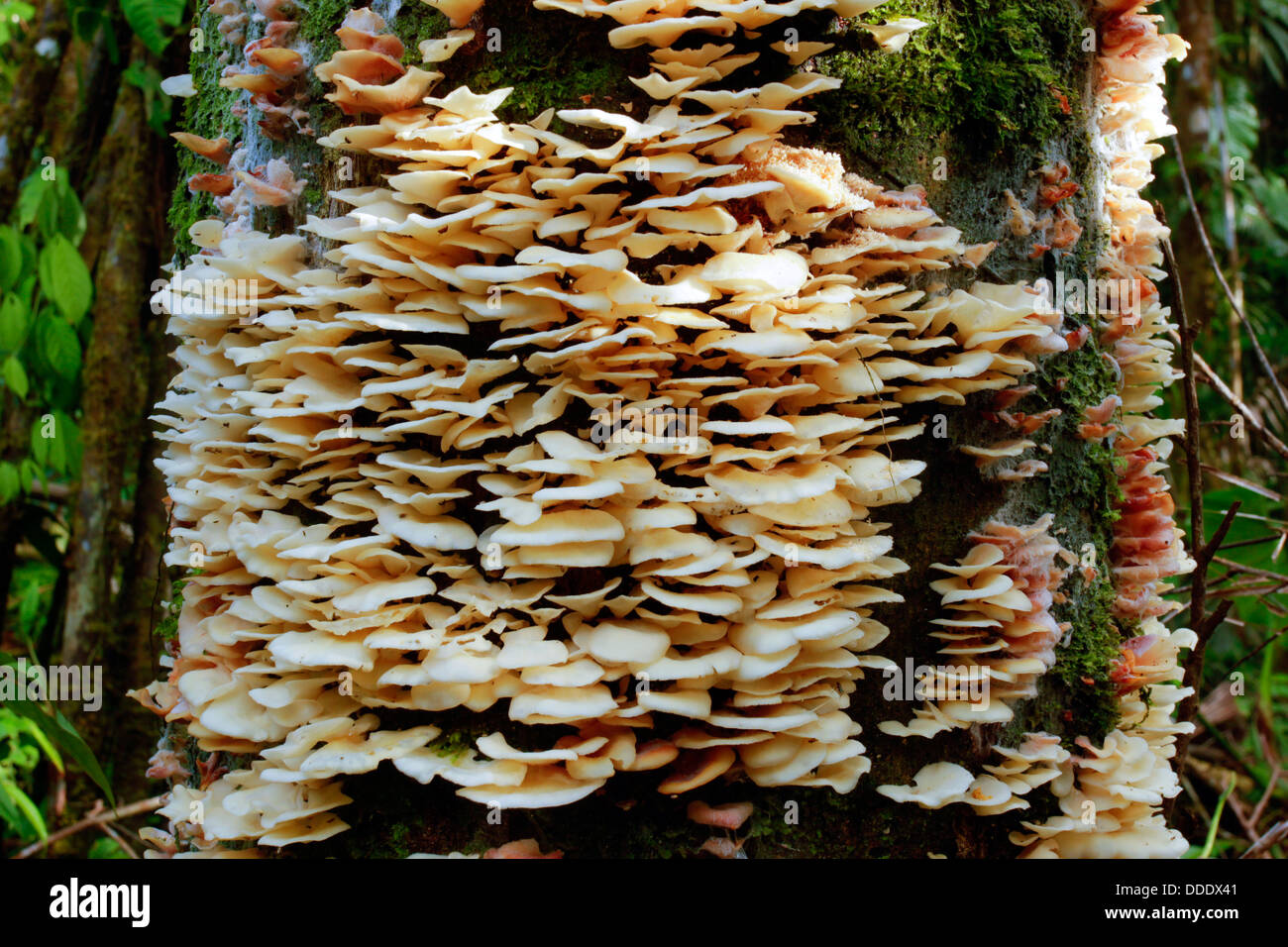 Bracket fungus growing on a dead tree in rainforest, Ecuador - Stock Image