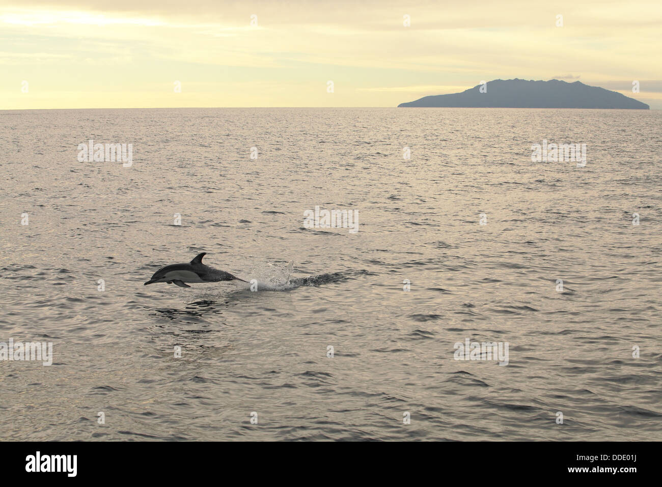 Dolphin at sunset in the Hauraki gulf of Auckland, New Zealand - Stock Image