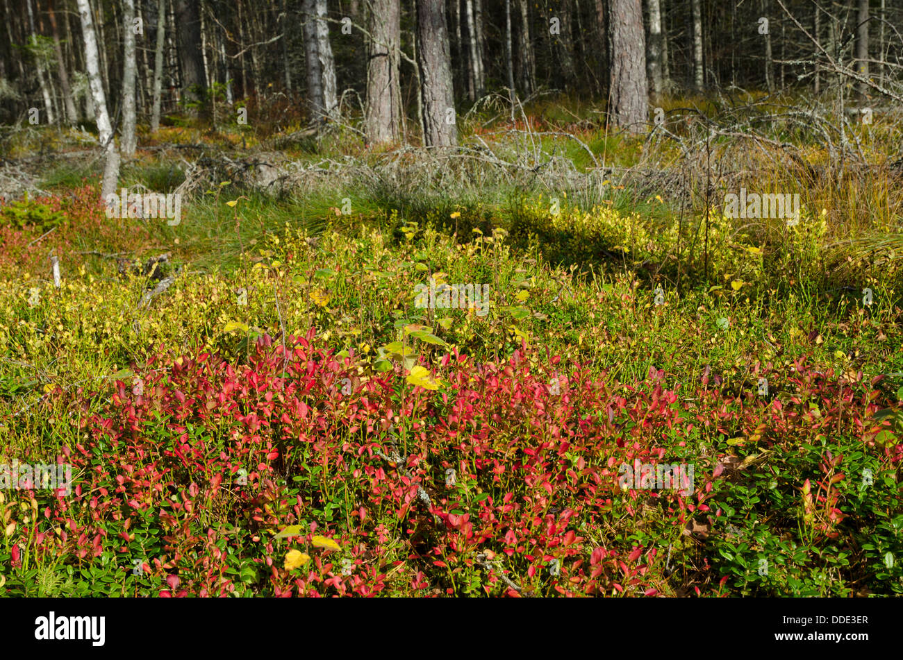 Lingonberry sprigs in autumn colour - Stock Image