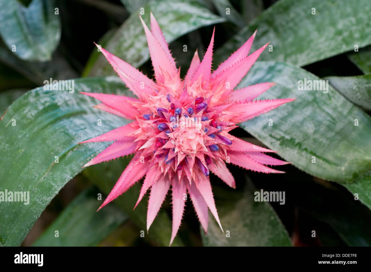 Pink Bromeliad Flower Stock Photo 59934876 Alamy