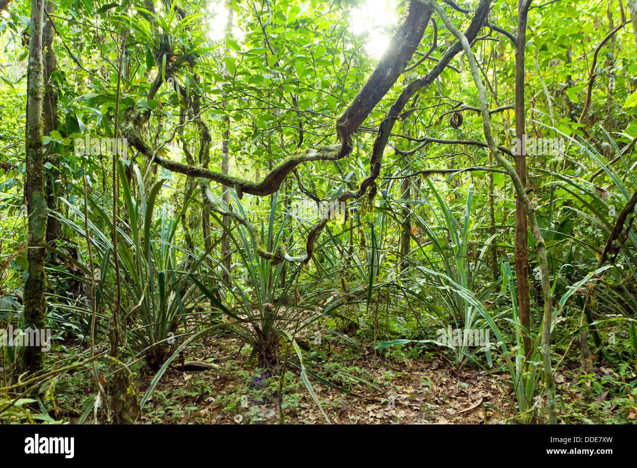 Lianas winding through the rainforest in the Ecuadorian Amazon - Stock Image