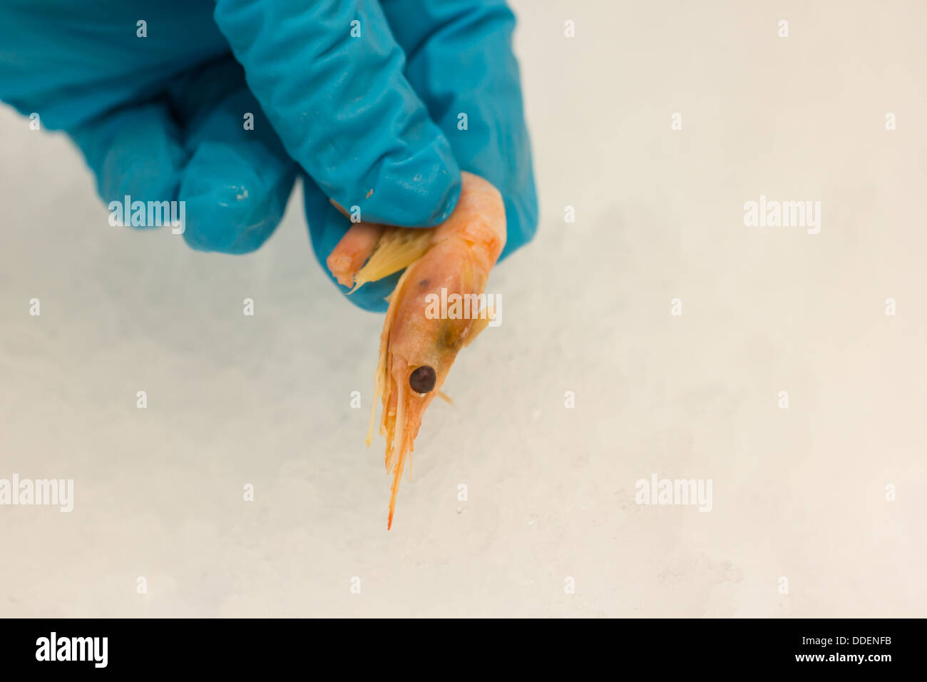 An image of a shrimp being picked up from the ice it is stored on, by someone wearing rubber gloves. Landscape - Stock Image