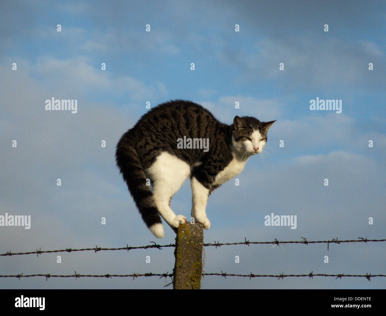 Cat photographed on barbed wire fence post Stock Photo: 59946110 - Alamy