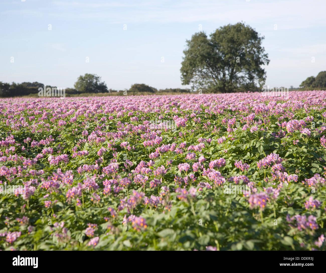Purple Flowers Field Potatoes Suffolk England Stock Photo 59947094