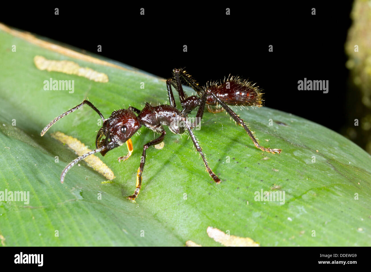 Bullet Ant or Conga Ant (Paraponera clavata), One of the largest ants. Has a very painful sting. Stock Photo