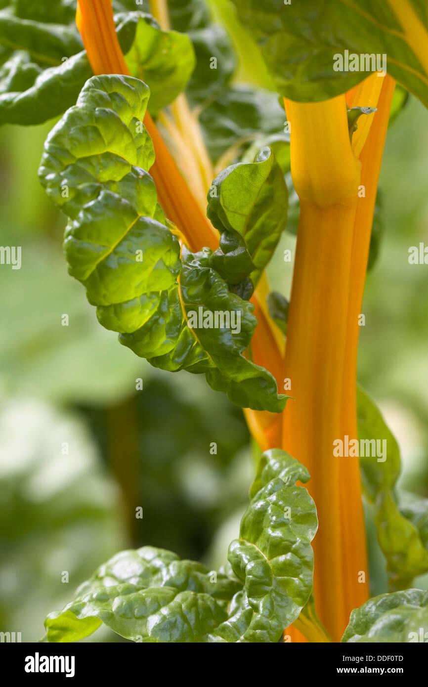 Beta vulgaris. Swiss Chard growing in a vegetable garden. - Stock Image