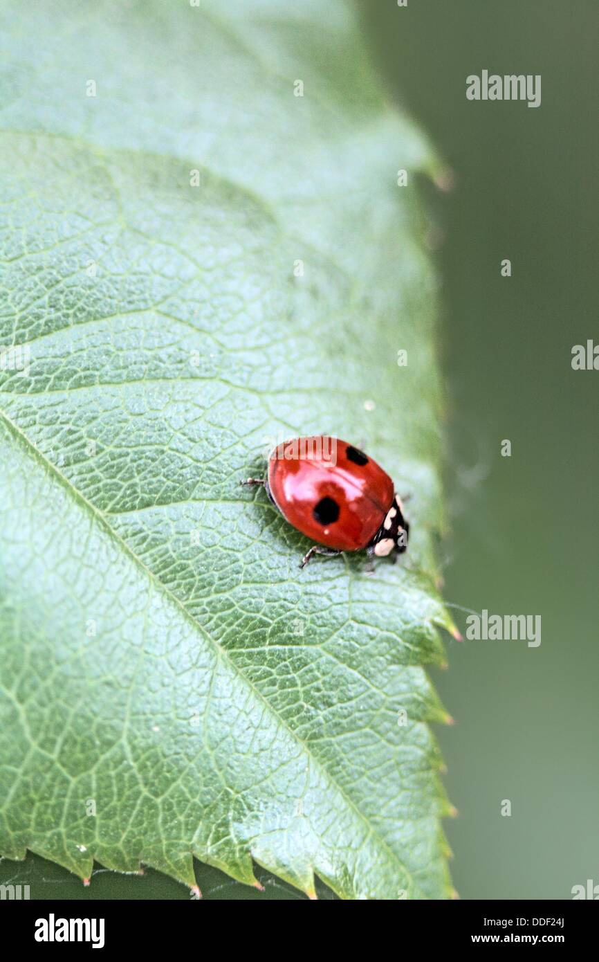 Two-spot Ladybird Beetle, Adalia bipunctata on leaf, Adalia bipyunctata is cannabalistic ladybird with about 80percent - Stock Image