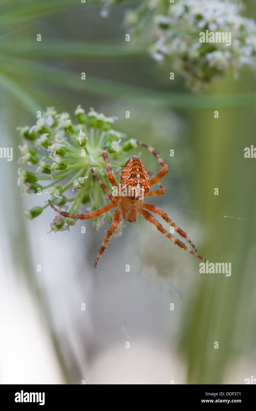 Cross spider in its network - Stock Image