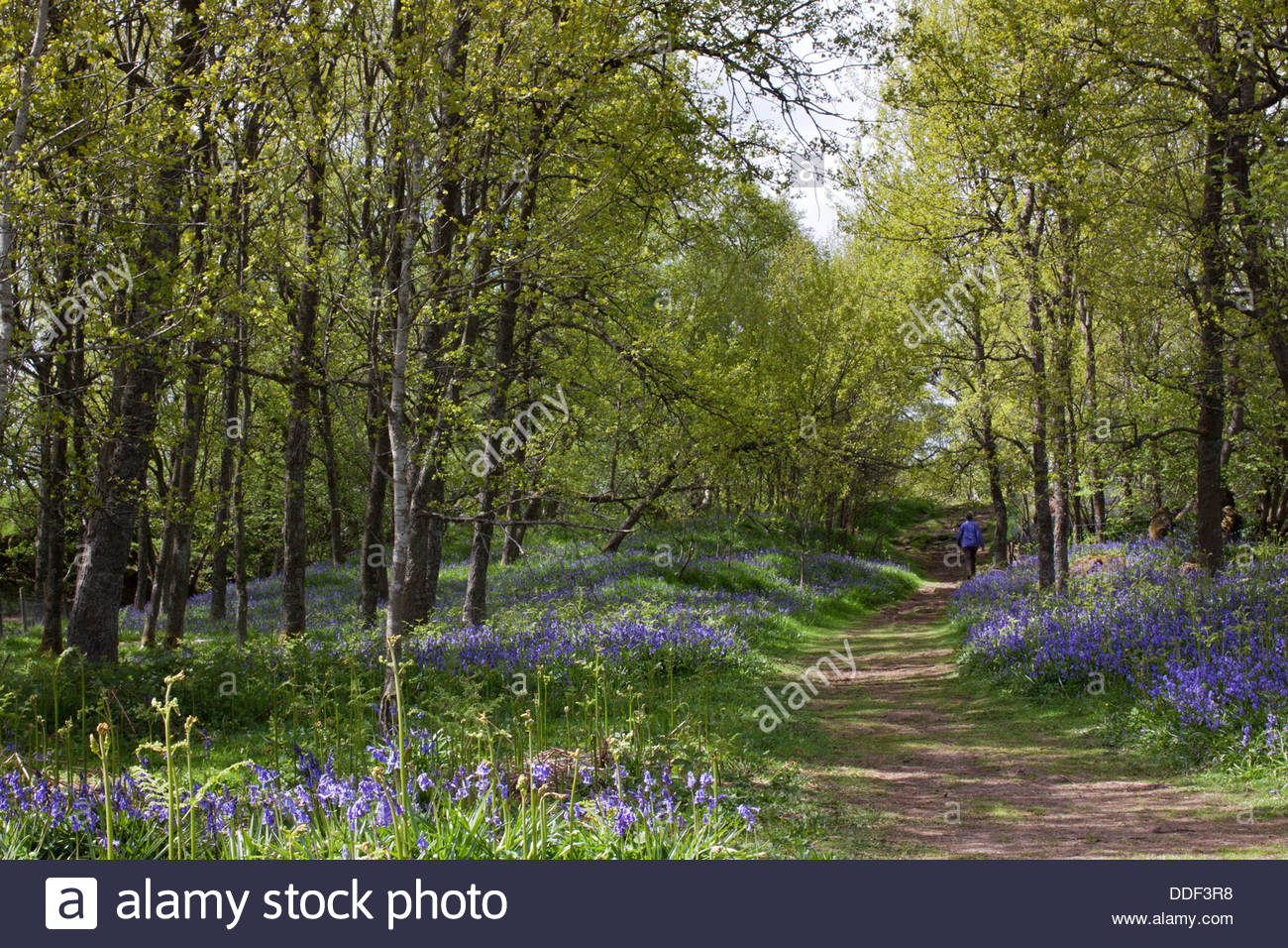 Through the bluebells on the Pennine Way near Wynch Bridge, Upper Teesdale, Co Durham, England - Stock Image