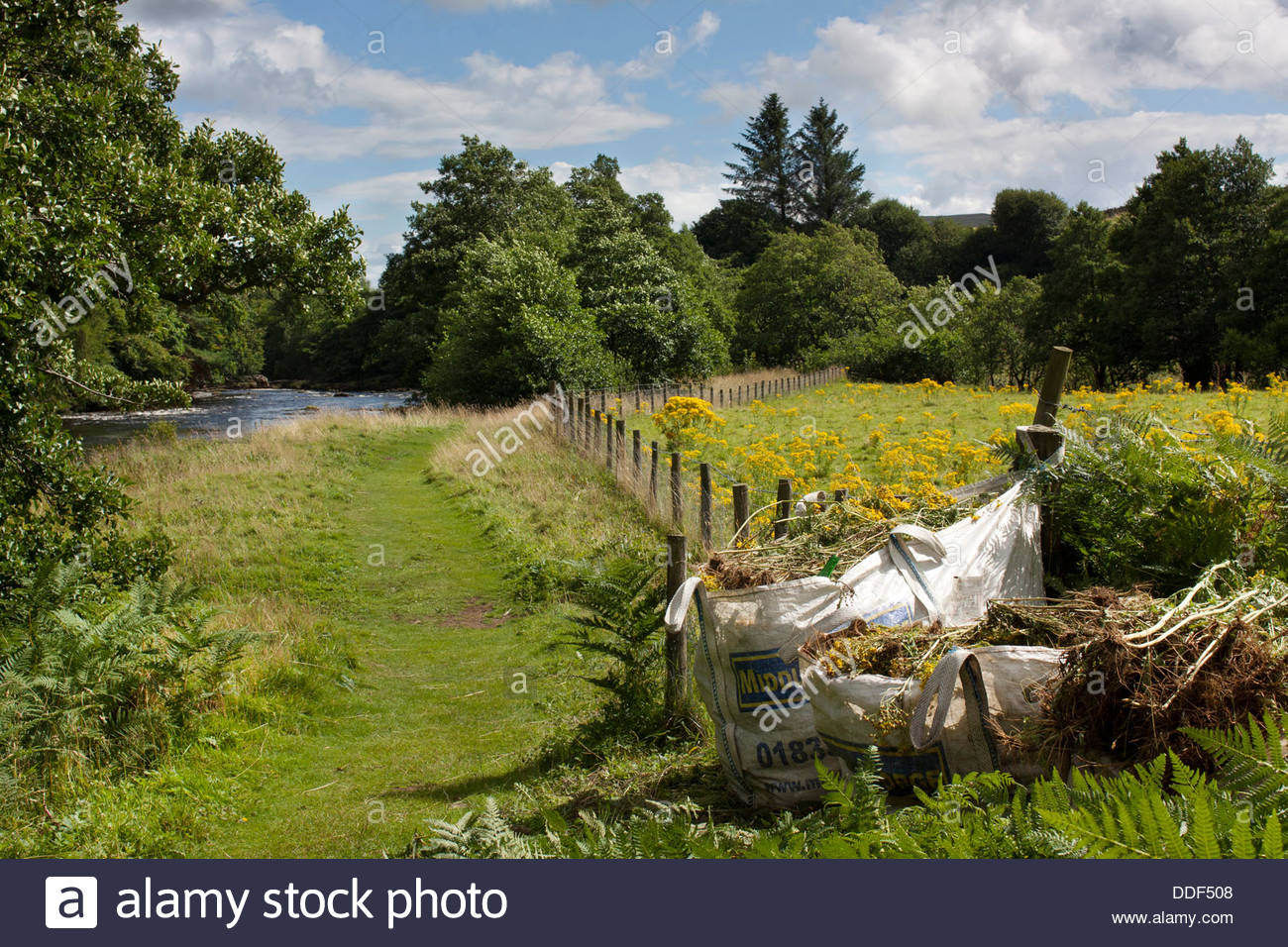 On the Pennine Way, near Low Force on the River Tees in the North Riding, ragwort has been gathered for disposal. Stock Photo