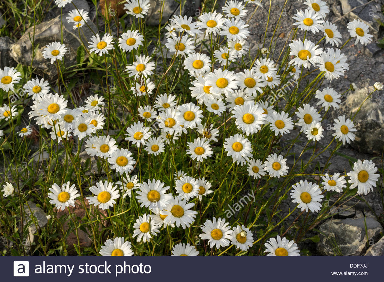 Wildflowers growing on wasteland - Stock Image