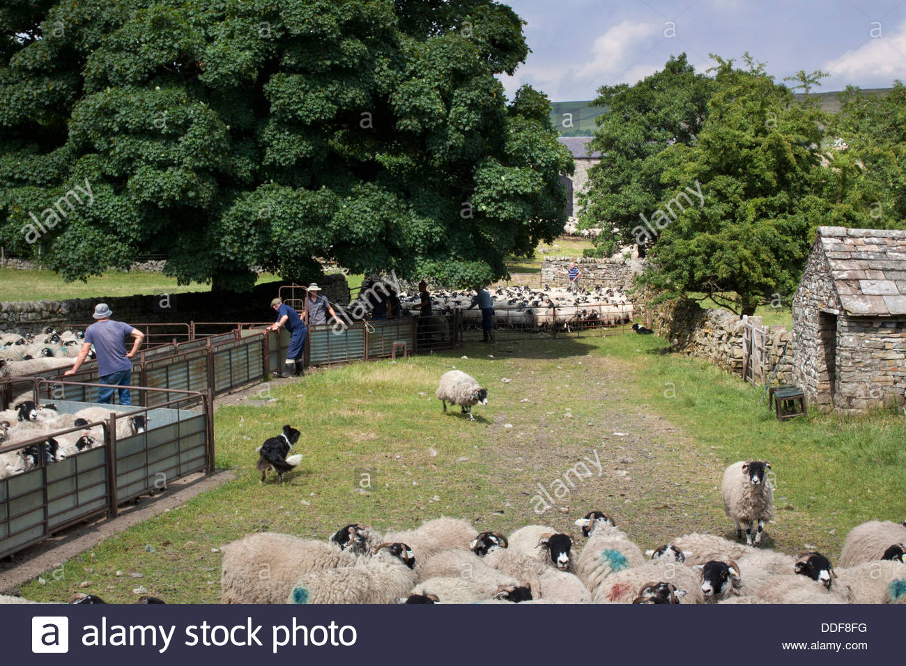 Man And Dog Work Together Caring For The Sheep In Upper