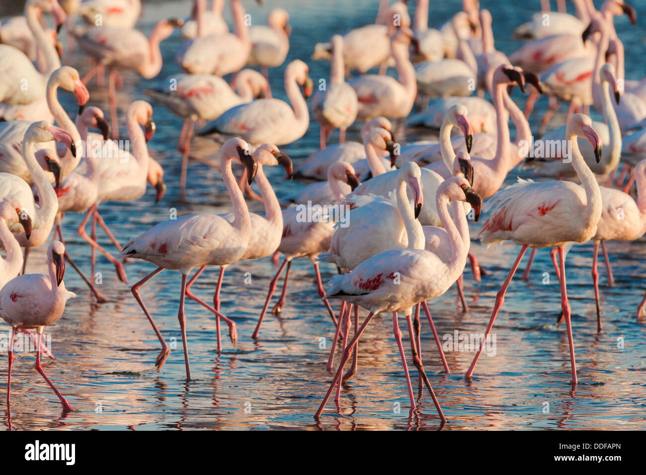 Greater flamingoes (Phoenicopterus ruber) and Lesser flamingoes (Phoenicopterus minor), Walvis Bay Lagoon, Namibia, - Stock Image