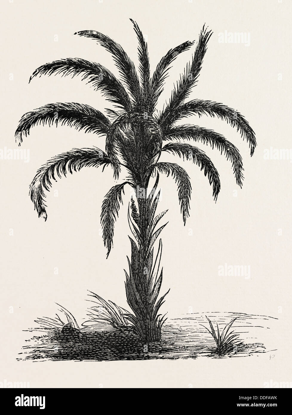 OIL-PALM (Eloeis Guineensis). Elaeis is a genus of palms containing two species, called oil palms. They are used - Stock Image