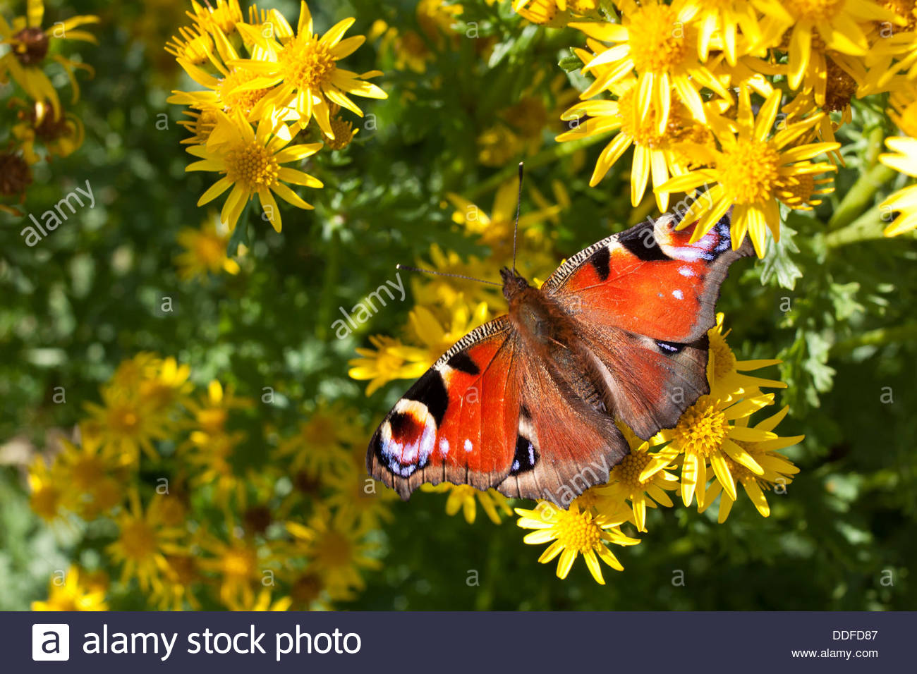 A Peacock Butterfly (Inachis io) on Ragwort in Upper Teesdale. North Pennine Hills, North Riding. September in Yorkshire - Stock Image