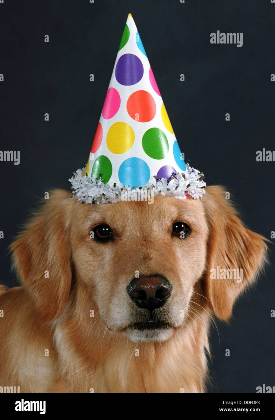 Golden Retriever With Party Hat Stock Photo 59961723 Alamy