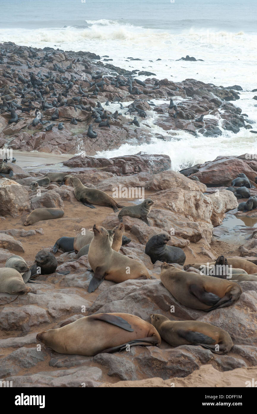 Cape Seal (Arctocephalus pusillus) colony on the beach of Cape Cross, Namibia - Stock Image