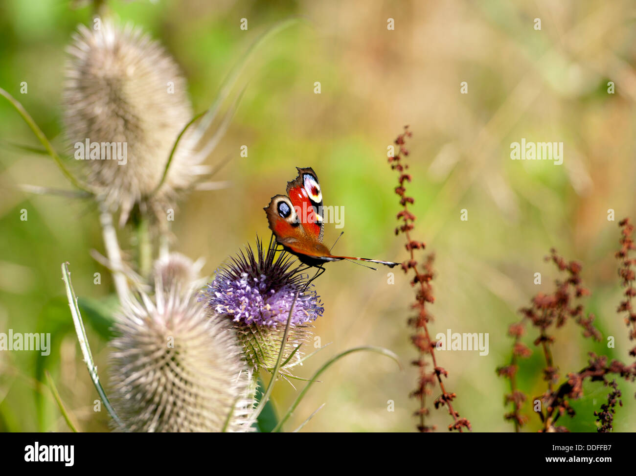 Peacock (Inachis io) butterfly on Teasel flower Stock Photo
