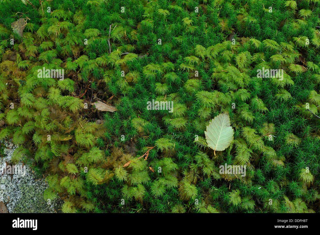 Menzies´ Tree Moss, Leucolepsis acanthoneuron, on rock beside Surge Narrows Trail, Quadra Island, British Columbia, - Stock Image