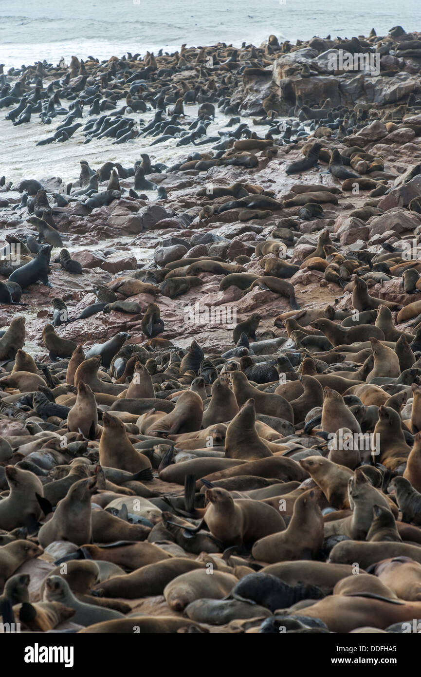 Crowded Cape Seal (Arctocephalus pusillus) colony at Cape Cross, Namibia - Stock Image