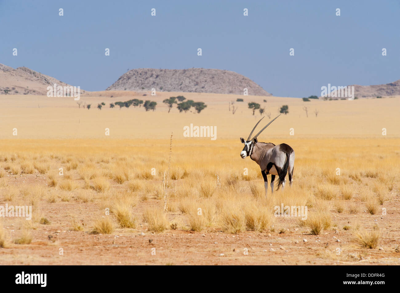 Gemsbok (Oryx gazella) standing on a open dry grass plain, Namibia - Stock Image