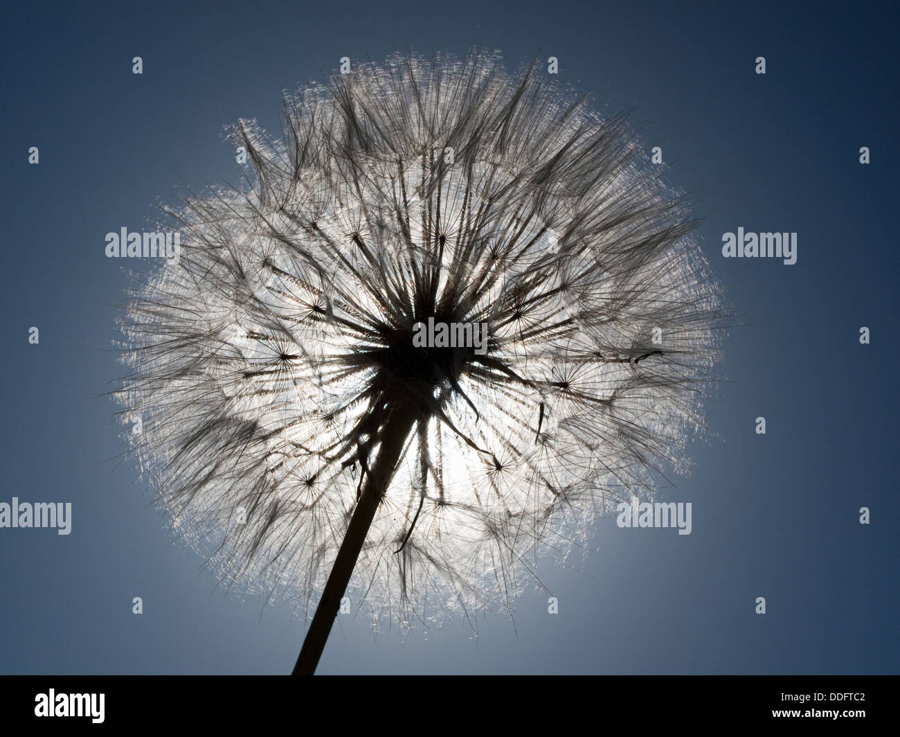 Dandelion  in the sky Stock Photo
