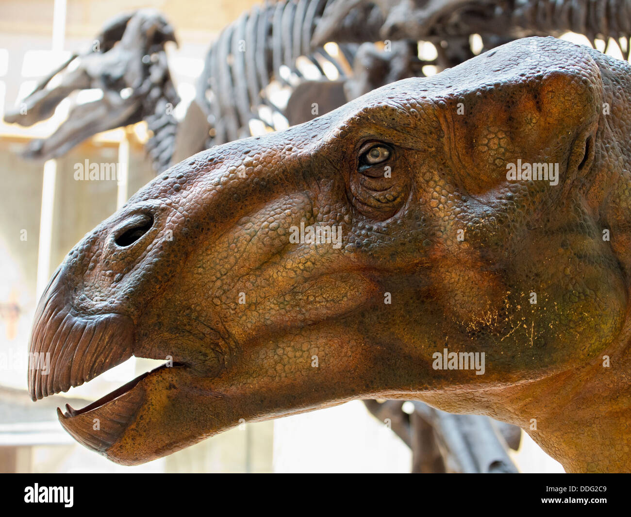 Dinosaur bones at the Pitt Rivers Natural History Museum, Oxford 3 - Stock Image