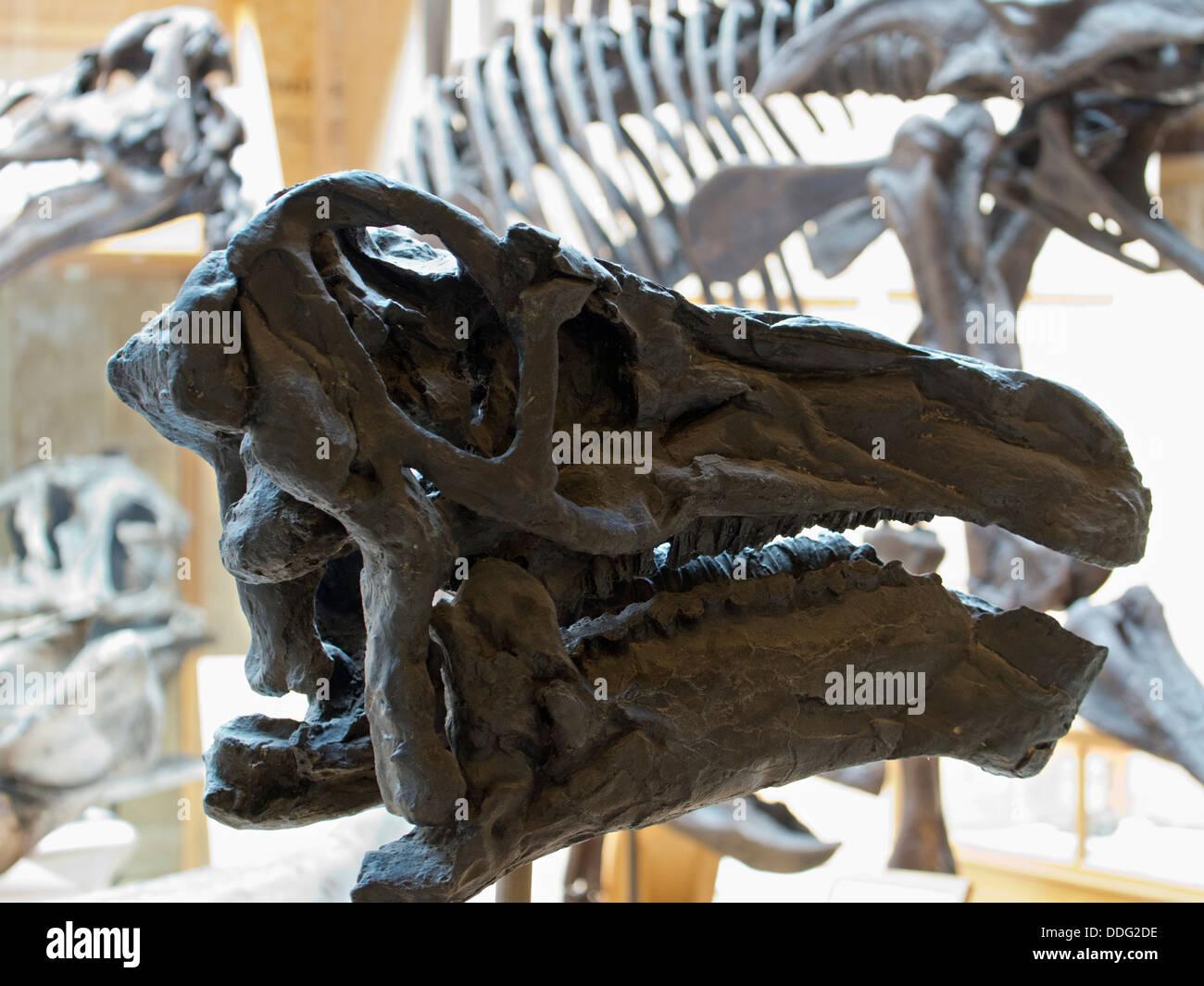 Dinosaur bones at the Pitt Rivers Natural History Museum, Oxford 5 - Stock Image