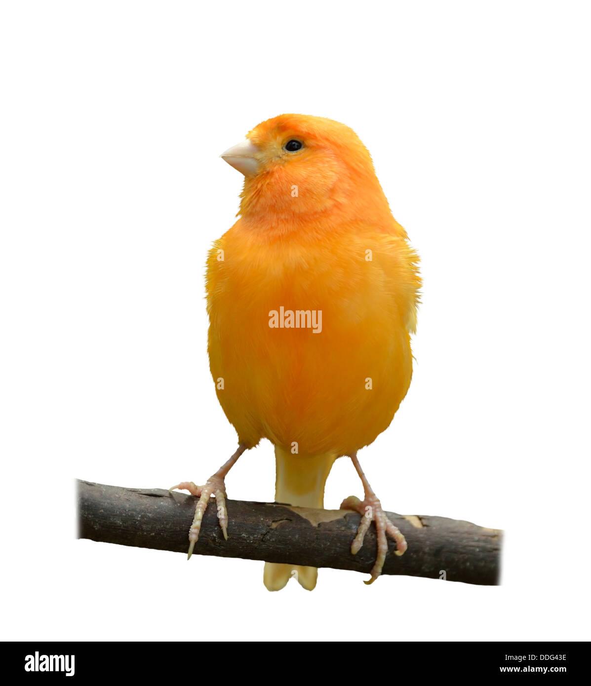 Wild Canary Isolated On White Background - Stock Image
