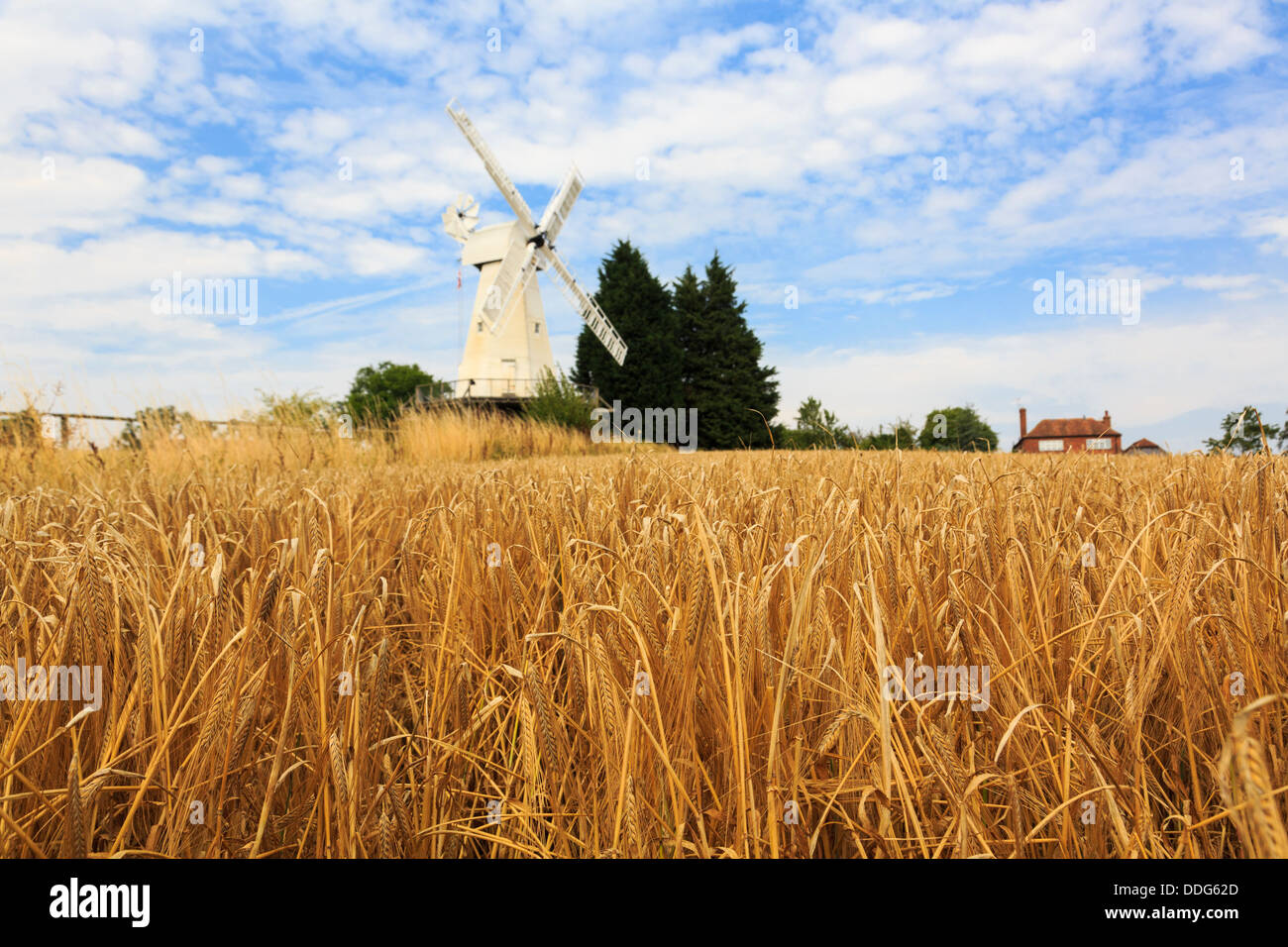 19C Kentish smock mill white wooden windmill beyond a field of ripe arable Barley crop ready for harvest in late - Stock Image