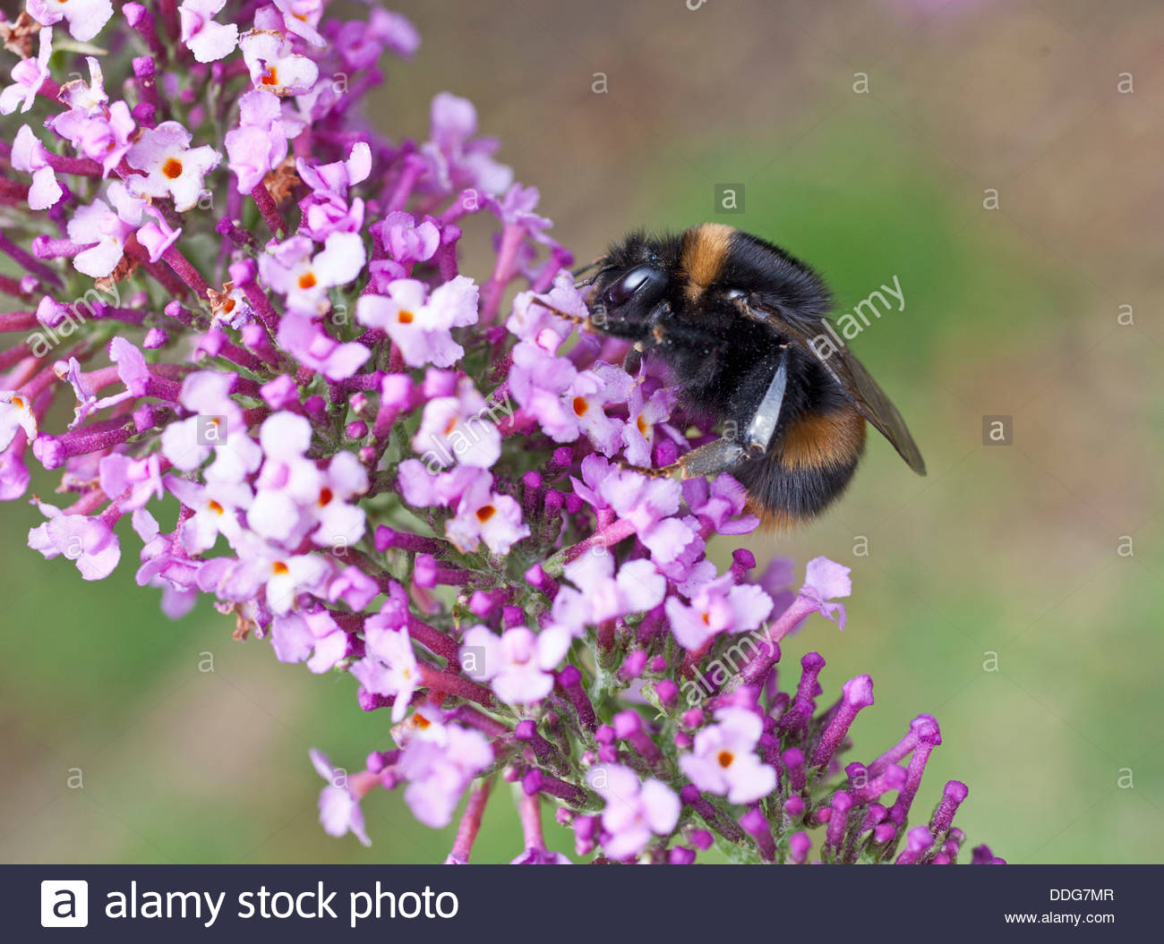 A new Queen Buff-tailed Bumblebee, Bombus terrestris,  feeding on nectar from a Buddleja/Buddeia flower panicle - Stock Image
