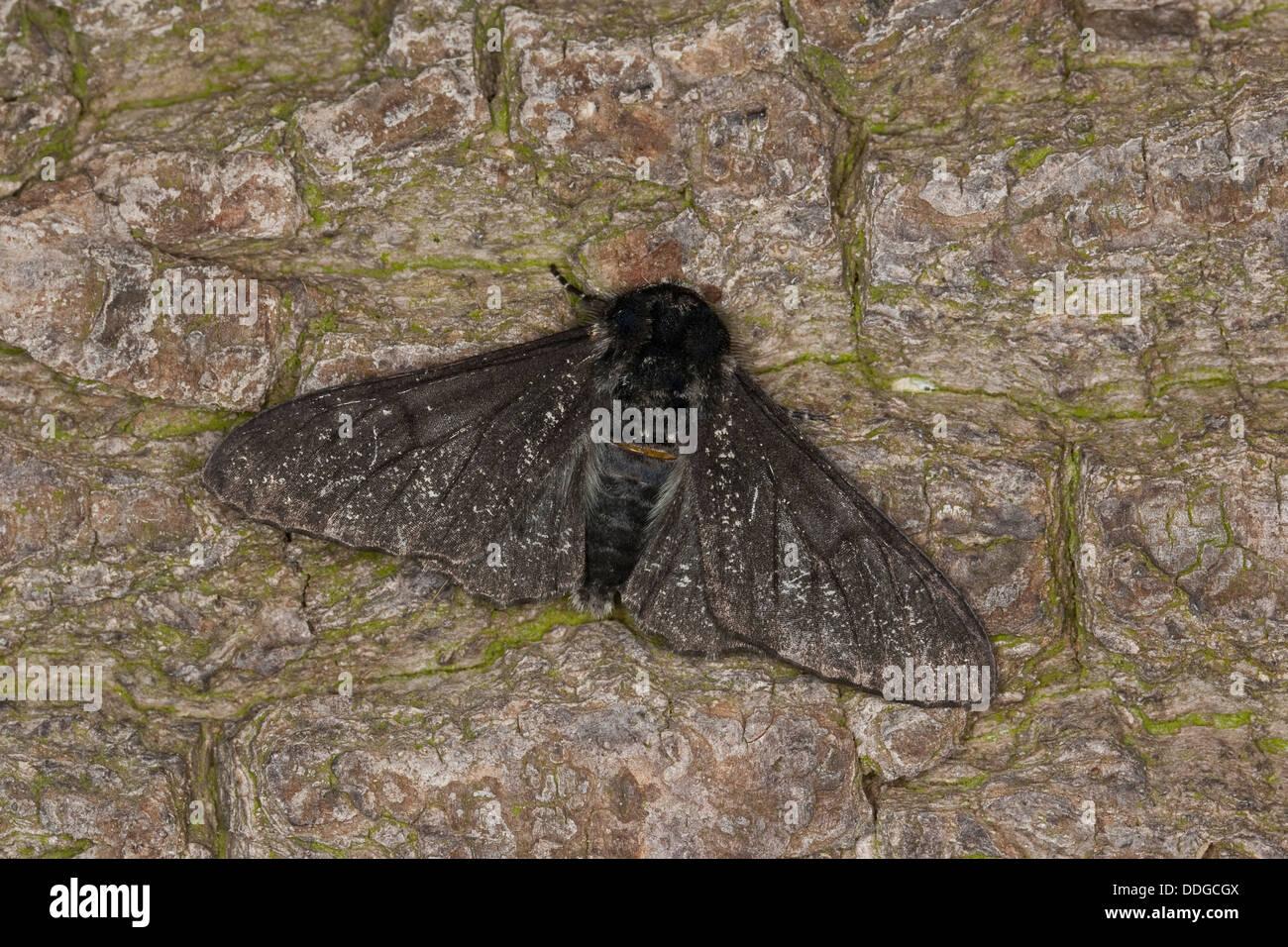 Peppered moth, Birkenspanner, Birken-Spanner, Biston betularia f. carbonaria, Biston betularius, Amphidasis betularia, - Stock Image