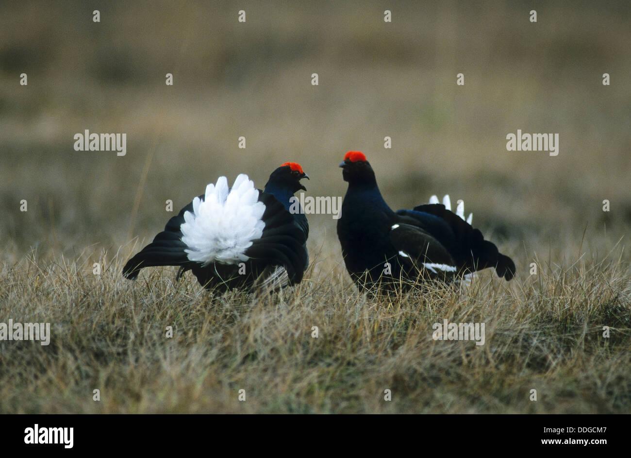 blackgame, black grouse, male, courtship, Birkhuhn, Birkhahn, Birkwild, Männchen, Balz, Lyrurus tetrix, Tetrao - Stock Image