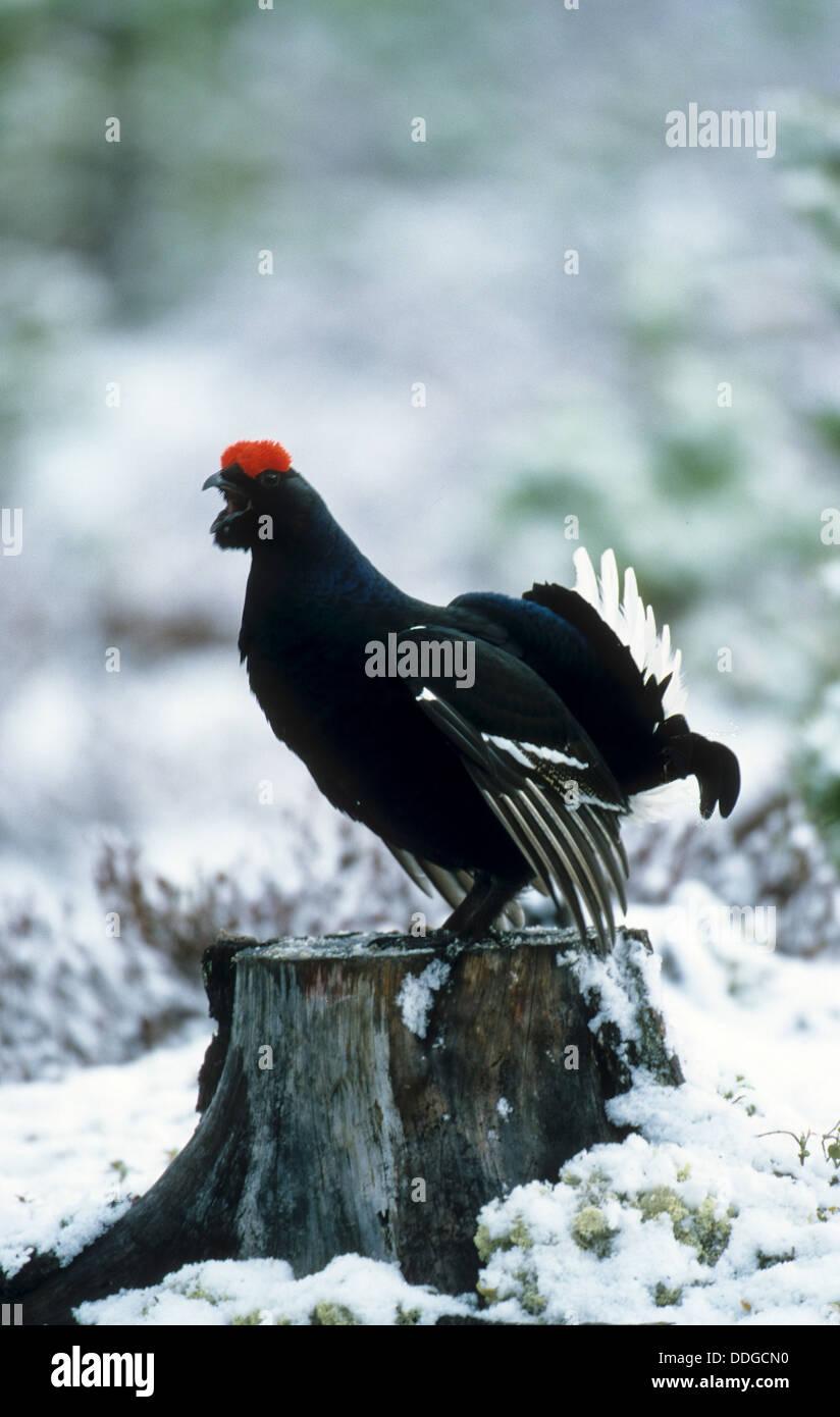 blackgame, black grouse, male, courtship, Birkhuhn, Birkhahn, Birkwild, Männchen, Balz, Lyrurus tetrix, Tetrao tetrix Stock Photo