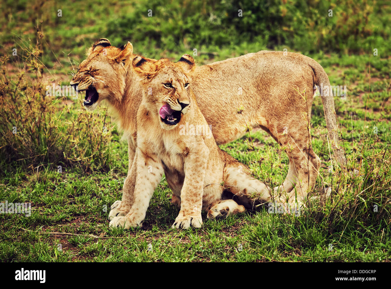Small lion cubs playing in the Serengeti National Park, Tanzania, Africa - African wildlife - Stock Image