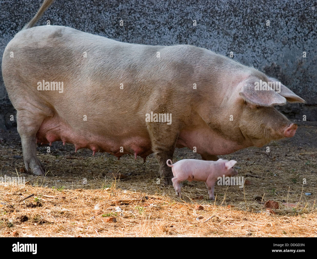 1990 Sandicast Sleeping Mother Pig