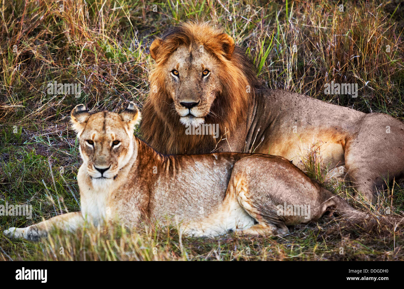 Male and female lion, couple, in the Serengeti National Park, Tanzania, Africa Stock Photo