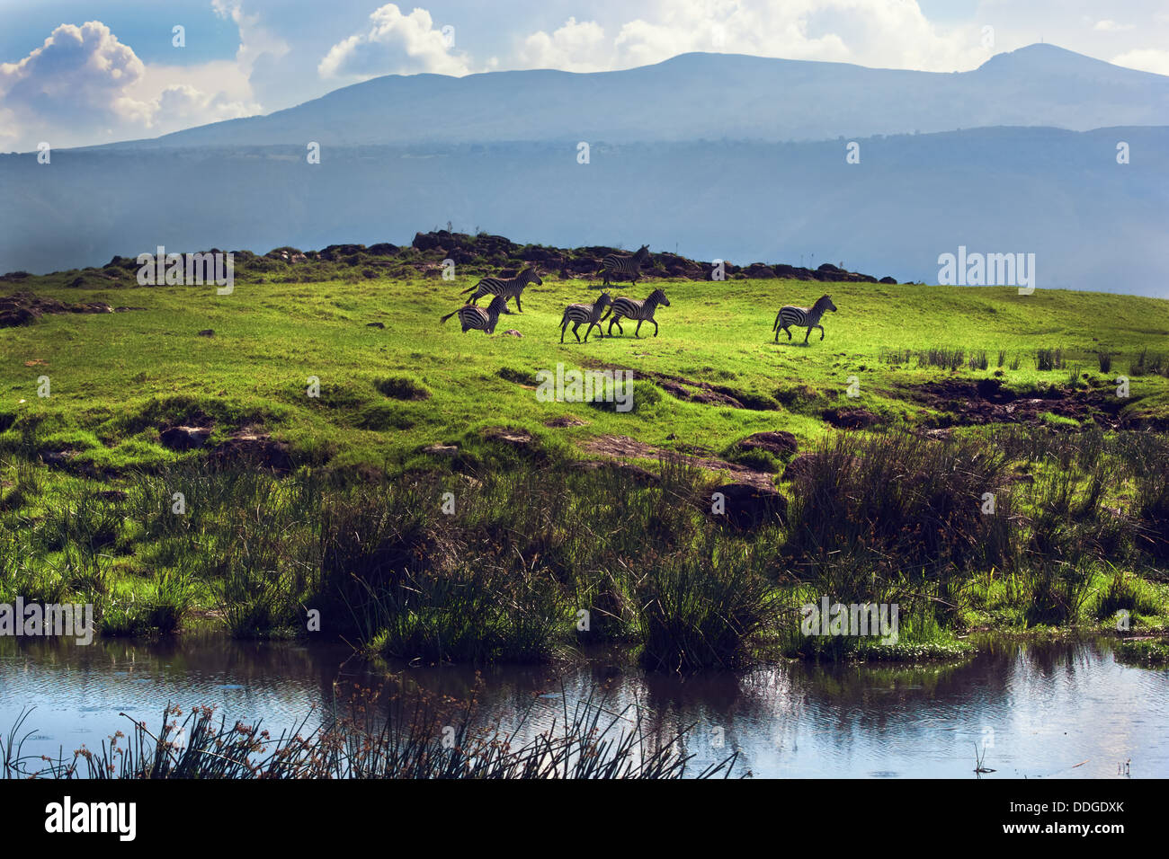 Zebras on green grassy hill in the Ngorongoro Conservation Area crater, Tanzania, Africa - Stock Image