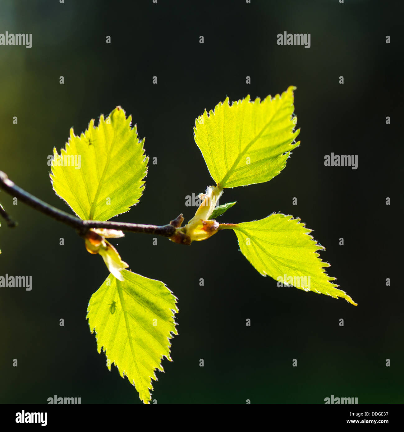 New birch leaves at dark in springtime. - Stock Image
