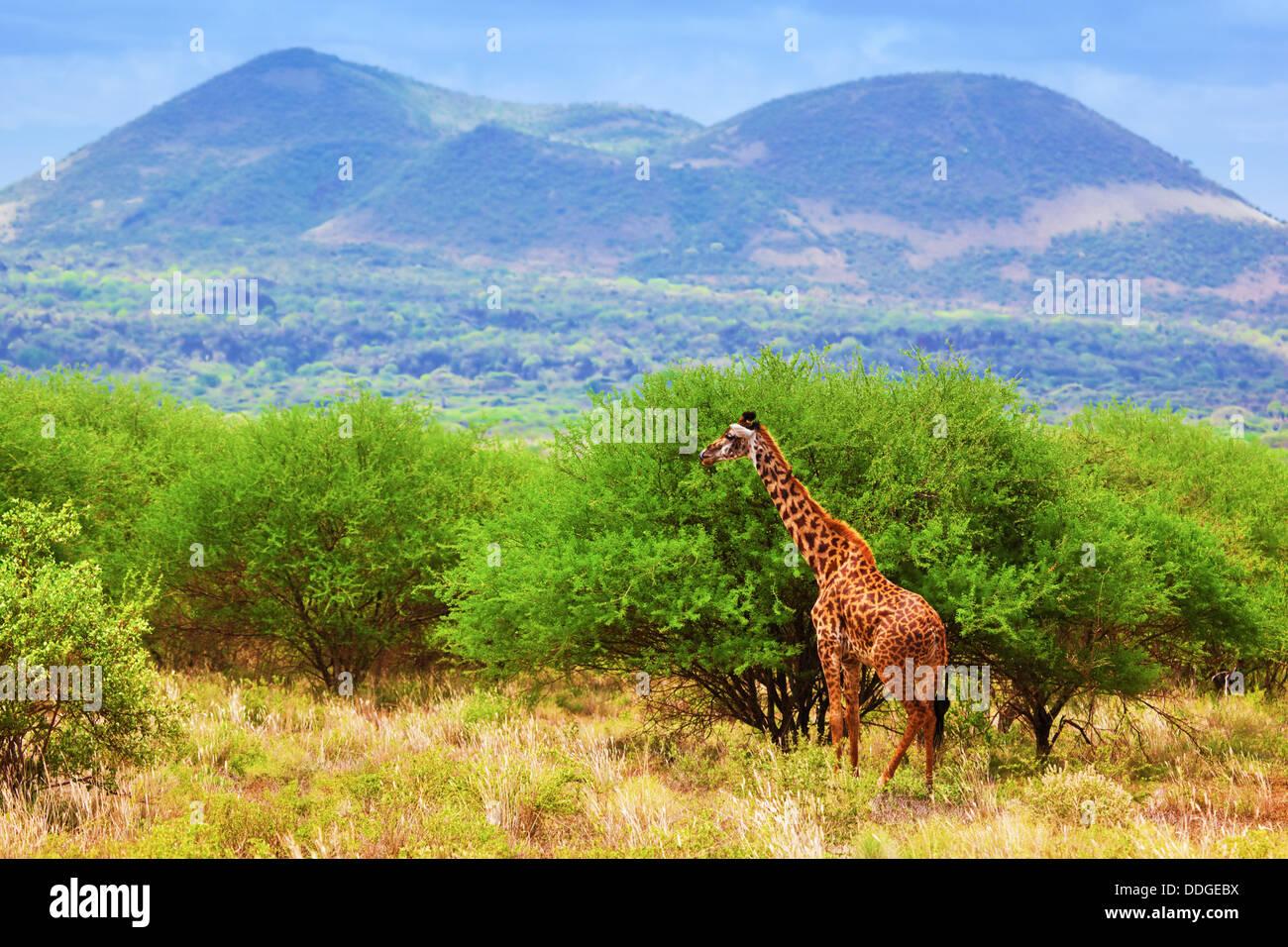 Giraffe in Tsavo West National Park, Kenya, Africa - African wildlife - Stock Image