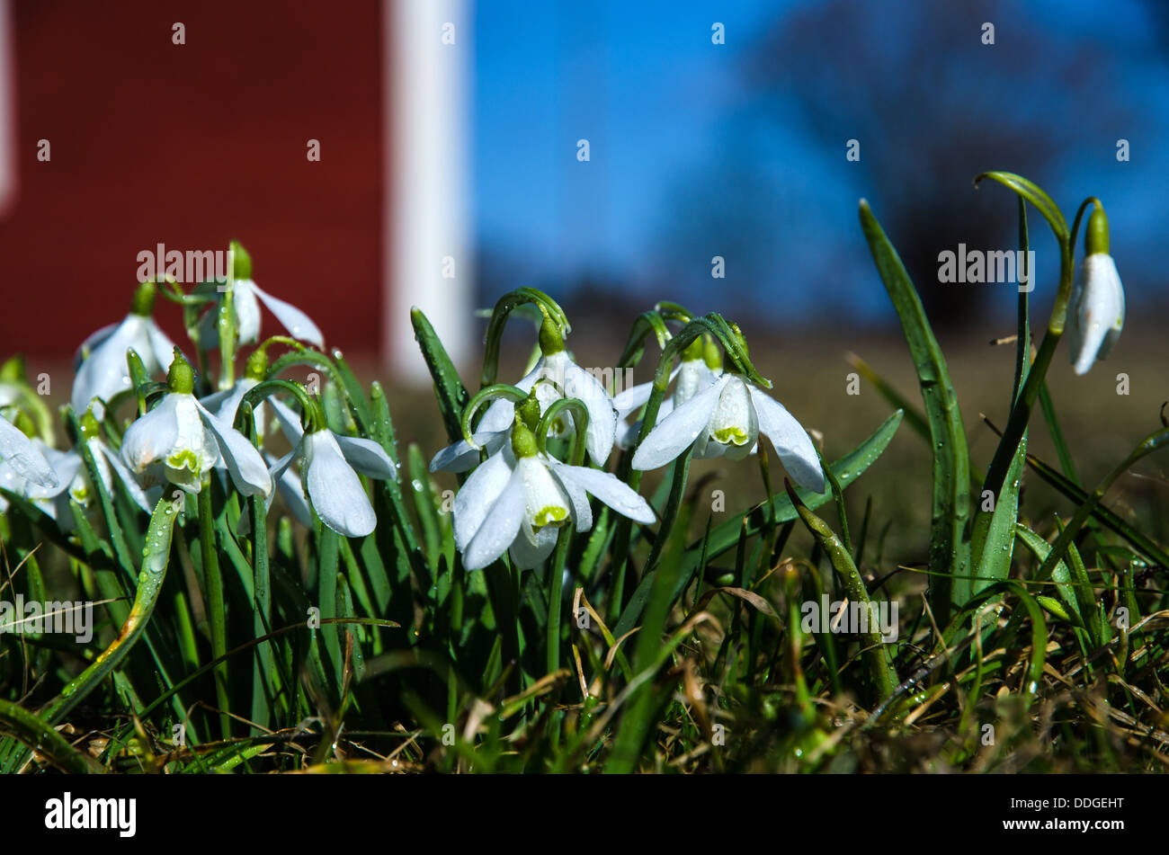 Snowdrops with dewdrops in an old garden. - Stock Image