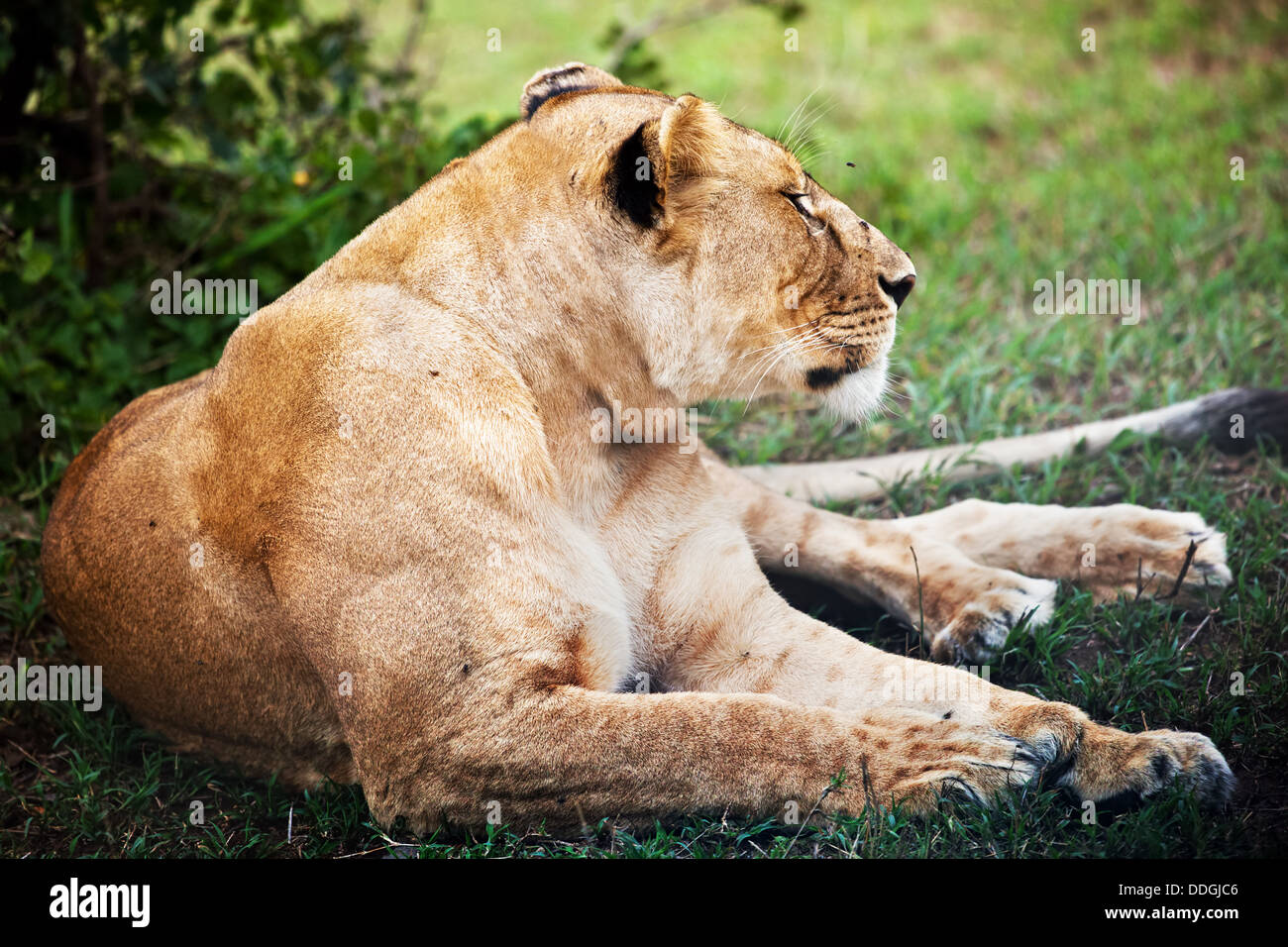 Female lion lying in the Serengeti National Park in Tanzania, Africa - Stock Image